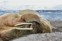 Mors kłama na kamienistym brzeg Fotografia Stock