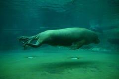Morsa de la natación (posterior) Fotografía de archivo libre de regalías
