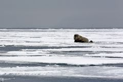 Morsa en el hielo Fotografía de archivo libre de regalías