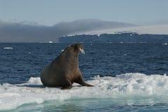 Morsa en una masa de hielo flotante de hielo Foto de archivo libre de regalías