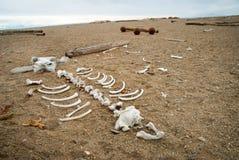 Morsa kościec na otoczaka kamienia brzeg, Svalbard Fotografia Stock