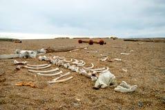 Morsa kościec na otoczaka kamienia brzeg, Svalbard Obrazy Stock