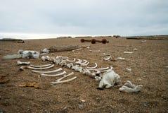 Morsa kościec na otoczaka kamienia brzeg, Svalbard Zdjęcia Stock