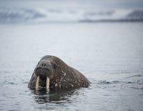 Morsa na água em Svalbard Fotografia de Stock Royalty Free