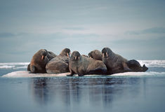 Morsa no ártico canadense fotografia de stock