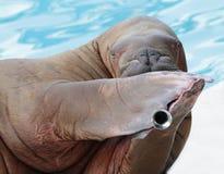 Morsa portret w zoo Obraz Royalty Free