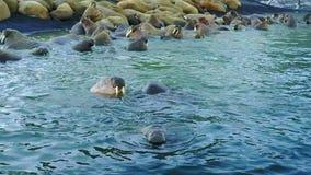 Morsas em costas e água da opinião aero de oceano ártico na terra nova filme