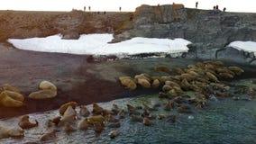 Morsas en orillas de la aero- opinión el Océano ártico sobre la nueva isla de Vaigach de la tierra metrajes