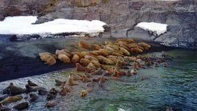 Morsas en orillas opinión video única el Océano ártico de la aero- sobre la nueva tierra metrajes
