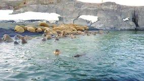 Morsas en orillas y agua de la aero- opinión el Océano ártico sobre la nueva tierra metrajes