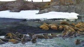 Morsas no fundo da opinião aero de oceano ártico de costas de deserto na terra nova video estoque
