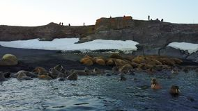 Morsas no fundo da opinião aero de oceano ártico da região selvagem na terra nova filme