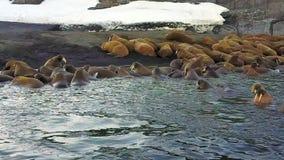 Morsas no fundo da opinião aero de oceano ártico da região selvagem na terra nova vídeos de arquivo