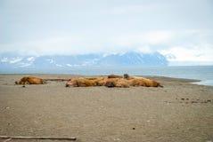 Morsas que mienten en la orilla en Svalbard, Noruega Fotografía de archivo