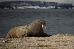 Morse avec les yeux à moitié fermés sur la plage de bardeau Photographie stock