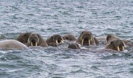 Morses dans une eau dans le Svalbard