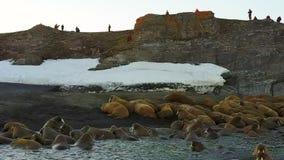 Morses et écologistes de personnes sur la côte de la vue aérienne d'hélicoptère d'océan arctique banque de vidéos