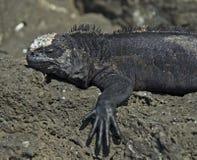 Morska iguana zdjęcie royalty free