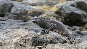 Morska iguana na Chińskiej Kapeluszowej wyspie, Galapagos park narodowy, Ekwador (Amblyrhynchus cristatus) zbiory