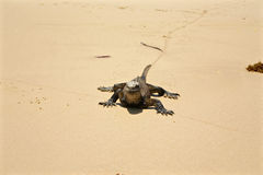 Morska iguana na plaży, Galapagos wyspy, Ekwador Zdjęcie Stock