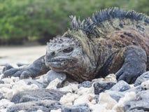 Morska iguana na Santiago wyspie w Galapagos parku narodowym obrazy royalty free
