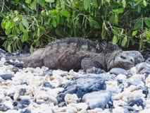 Morska iguana na Santiago wyspie w Galapagos parku narodowym fotografia stock