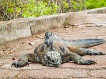 Morska iguana na Santiago wyspie w Galapagos parku narodowym obrazy stock