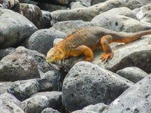 Morska iguana na Santiago wyspie w Galapagos parku narodowym obraz royalty free