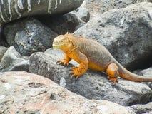 Morska iguana na Santiago wyspie w Galapagos parku narodowym obraz stock