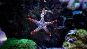 Morska rozgwiazda w Morskim akwarium Fotografia Royalty Free