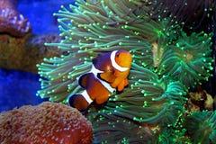 Morska ryba odizolowywająca Obrazy Royalty Free