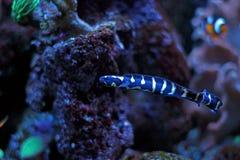 Morska ryba w Morskim akwarium Fotografia Royalty Free