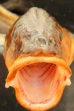 Morska ryba z otwartym usta, Norwegia Fotografia Stock