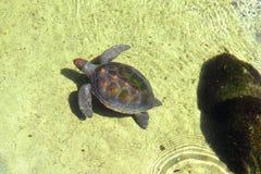 Morski żółw w basen wodzie Zdjęcia Stock