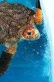 Morski żółw w basen wodzie Obrazy Stock
