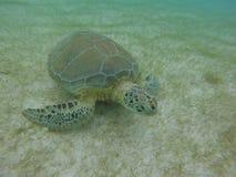 Morski żółw w zatoce Meksyk Obrazy Royalty Free