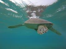 Morski żółw w zatoce Meksyk Zdjęcia Stock