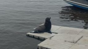 Morski lew obrazy stock