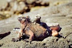 morskie Galapagos iguany Zdjęcia Royalty Free