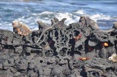 Morskie iguany na lawy skale zdjęcia stock