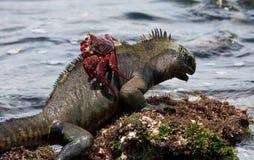 Morskie iguany siedzą na kamieniach wraz z krabami wyspy galapagos ocean spokojny Ekwador zdjęcie stock