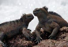 Morskie iguany siedzą na skałach wyspy galapagos ocean spokojny Ekwador obraz stock