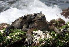 Morskie iguany siedzą na skałach wyspy galapagos ocean spokojny Ekwador obraz royalty free