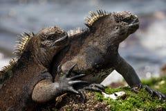 Morskie iguany siedzą na skałach wyspy galapagos ocean spokojny Ekwador obrazy royalty free
