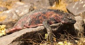 Morskie iguany sunbathing w Galapagos wyspie obrazy royalty free