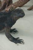 Morskie iguany w Galapagos wyspach Obraz Stock