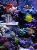 Morskie ryba inkasowe Fotografia Stock