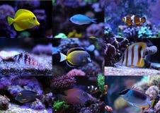 Morskie ryba inkasowe Fotografia Royalty Free