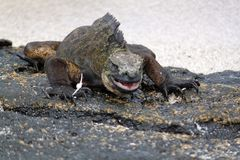 Morskiej iguany Amblyrhynchus cristatus Galapagos, Ekwador (,) Zdjęcia Stock