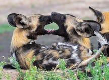 Morso dei cani selvaggi Fotografia Stock Libera da Diritti